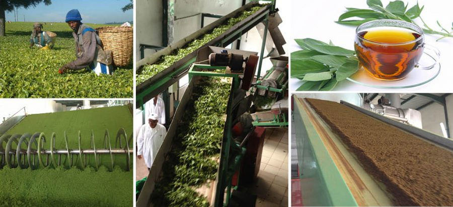 Esbelt-belts-for-the-Tea-industry